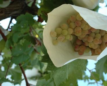 Uvas protegidas del tiempo