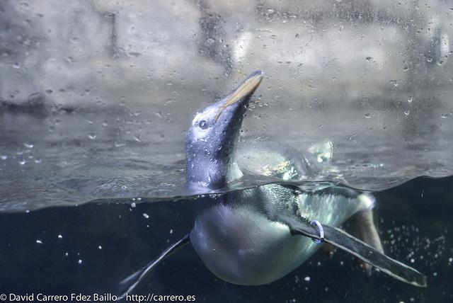 pingüino en el oceanográfico de valencia