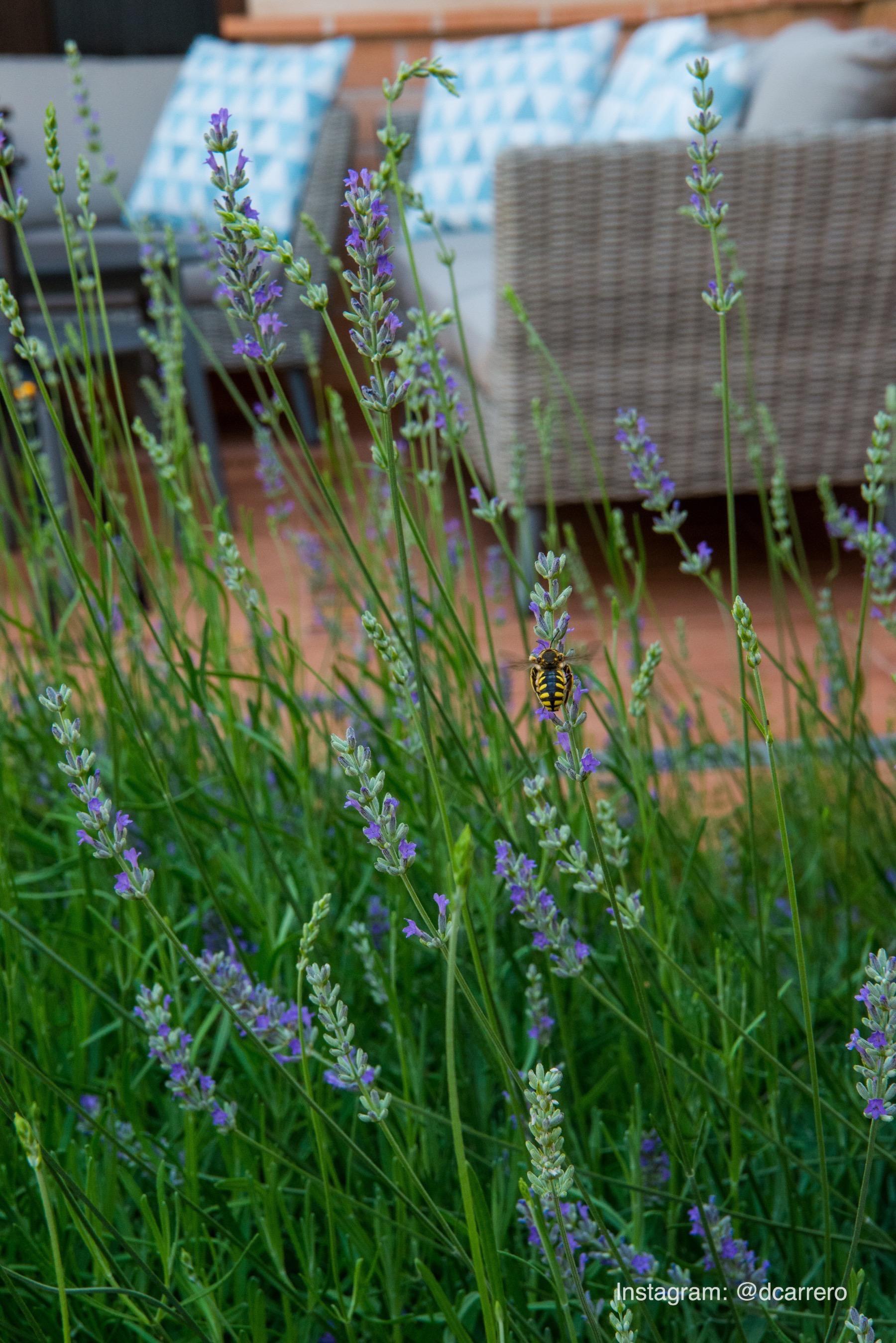 Abeja recogiendo polen en lavanda